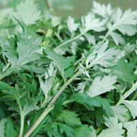 California Mugwort