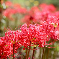 Red Spider Lily - Galantamine